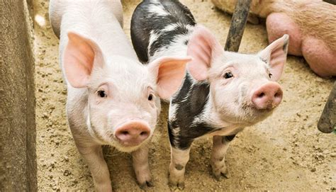 How piglets could make IVF cheaper - Futurity